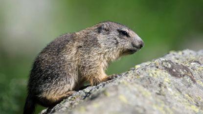 Komisch tafereel eindigt in mineur: agent probeert marmot te verjagen, maar haalt dan geweer boven