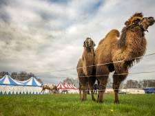 Circus Bolalou strandt in Laren en de kamelen worden langzaam hongerig