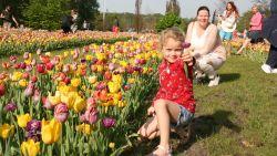 15.000 bloemenfans komen tulpen plukken