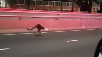 Politie achtervolgt kangoeroe op beroemde Sydney Harbour Bridge