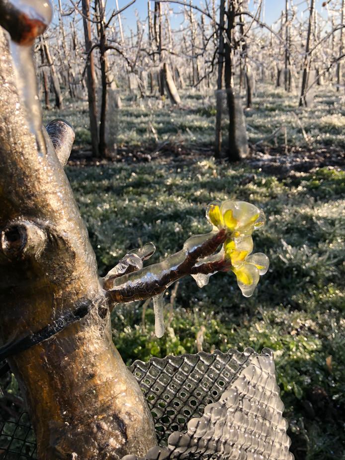 Beregening van fruitbomen in Leuth.