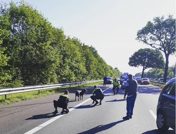 Losgelopen hond houdt verkeer op bij Heesch