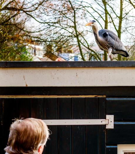 De 82-jarige Ab voert al 20 jaar reigers in zijn tuin: reiger Joop rekent elke ochtend op een kipkluifje