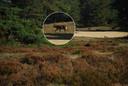 Karin van der Sluis zag de wolf op de Veluwe.