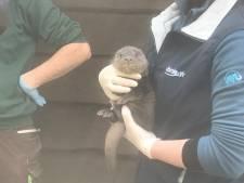 Deze baby-otter weegt 1,4 kilo en dat is 'ganz schön'