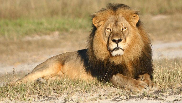 Jericho zorgde voor de welpen van Cecil, nadat die door de Amerikaanse tandarts Walter Palmer illegaal was doodgeschoten.