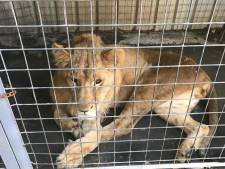 Nederlandse marechaussees redden verwaarloosde leeuw in Bagdad