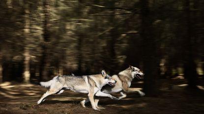Aanwezigheid van wolf in Malmedy bevestigd