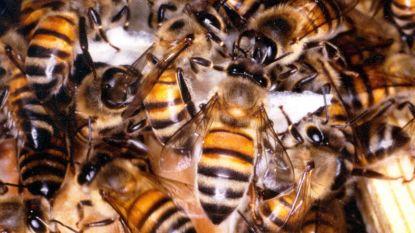 Hartje Kortrijk straks 100.000 honingbijen rijker