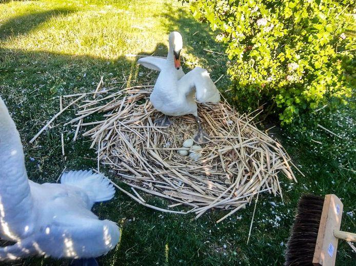 De 'gestolen' eieren bleken uiteindelijk diep in het nest te liggen