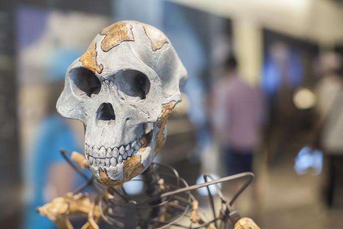 Een replica van de schedel van Lucy.