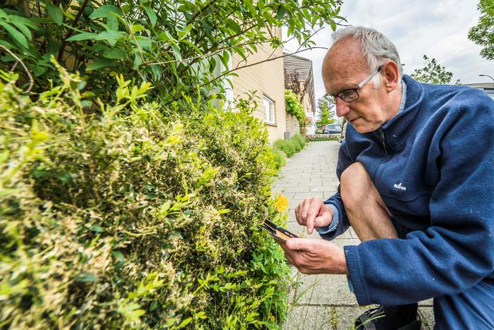 Geert van Poelgeest (KNNV) bij een aangetaste buxushaag. ,,Ze rukken op.''