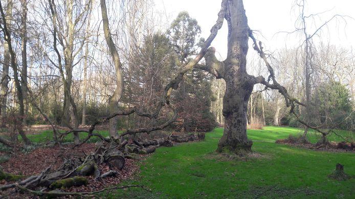 Een dode treurbeuk in het Geldropse kasteelpark. De boom heeft al wel voor nazaten gezorgd. Treurende takken hebben zich geworteld.