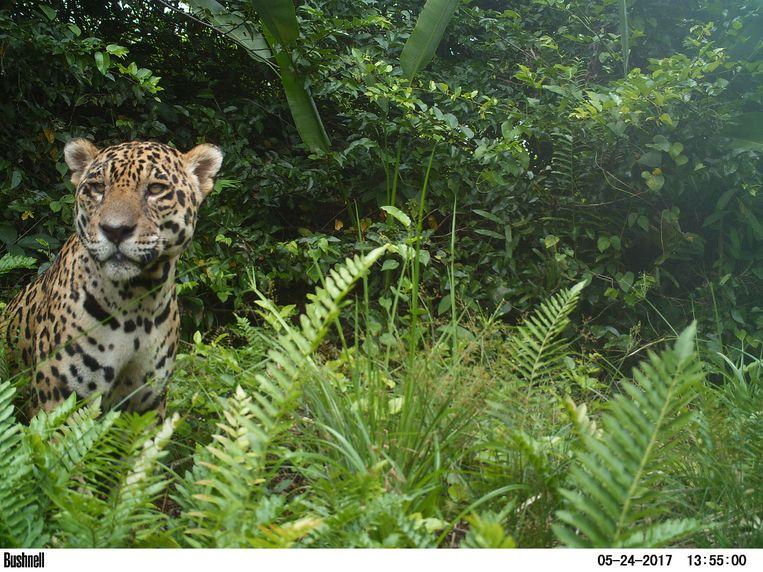 De jaguar in Venezuela wordt bedreigd. Beeld