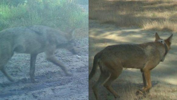 Wolf August (l) en zijn lief Naya. (Archieffoto)