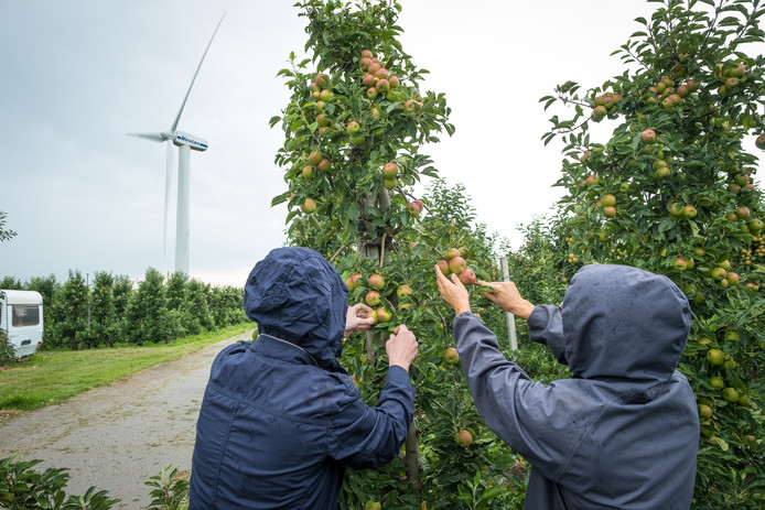 In de regen afgelopen zaterdag worden enkele appels geplukt op het perceel van fruitteler Wijk Oord in Zeewolde. Over enkele jaren maken de appelbomen plaats voor een zonnepark van 5,6 hectare. De fruitteler gaat wel door met het telen van peren.