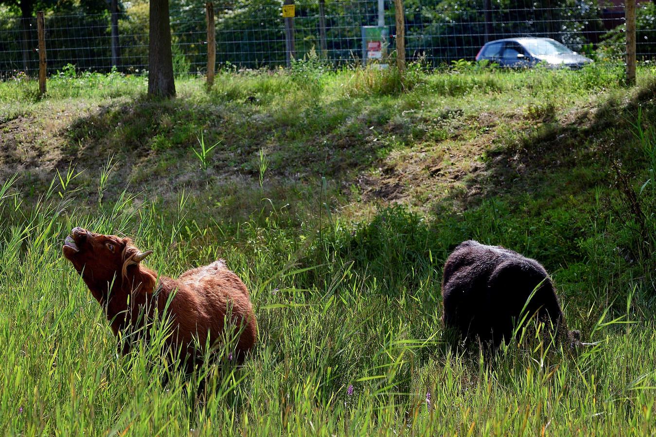 De Schotse Hooglanders zorgen voor natuurlijk begrazing van de Landerije.