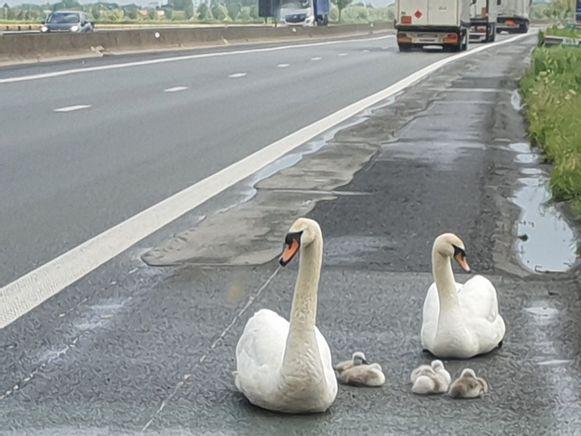 Het gezin zwanen probeerde de snelweg tussen Veurne en Adinkerke over te steken.