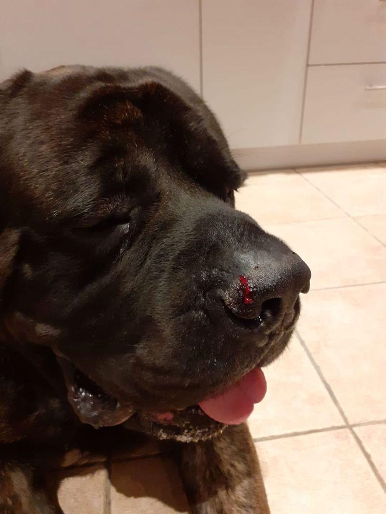 Nembo bloedde aan zijn neus en verloor een stuk oor na de aanval.