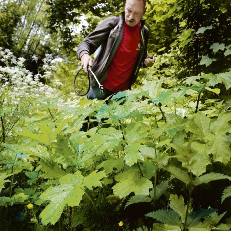 Bioloog Piet Ottens probeert een nieuw bestrijdingsmiddel uit. (FOTO REYER BOXEM) Beeld reyer boxem