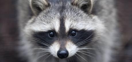 Limburgse wasbeer mag worden afgeschoten van minister