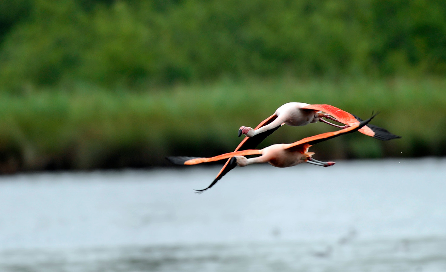 Twee flamingo's in volle vlucht in het Zwillbrocker Venn.