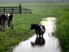 Voorkom hittestress bij koeien: 's nachts pas de wei in