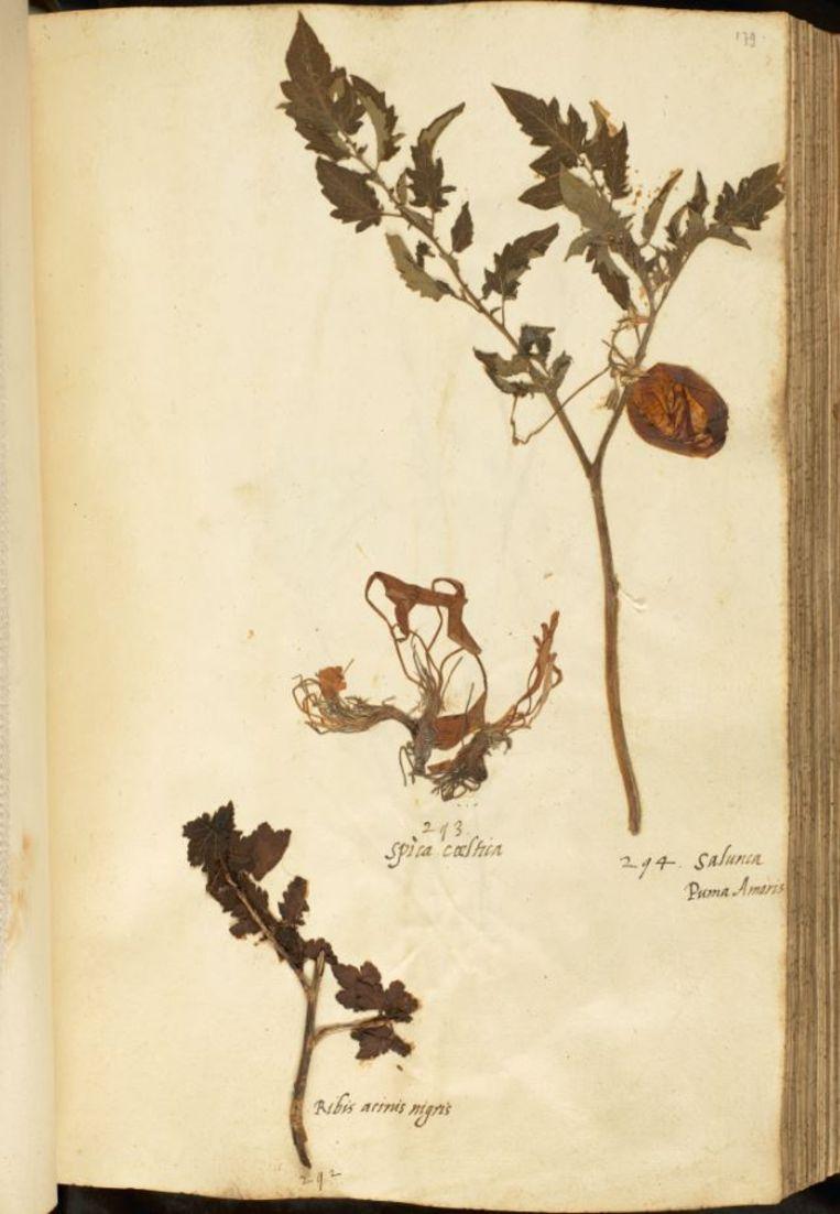 De tomaat in het En tibi-herbarium. Beeld Naturalis