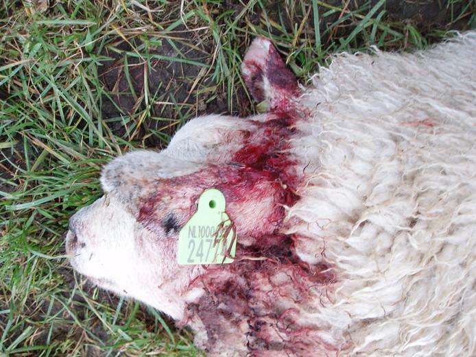 Bijtwonden in de nek van één van de schapen van Dinie Lusink in Ruurlo.