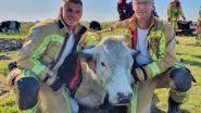 Brandweer redt koeien uit de gracht in ... de Koeistraat