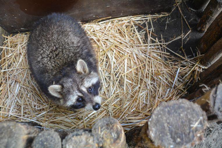 VOC Neteland zal de wasbeer voorlopig verzorgen.