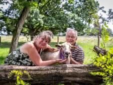 Wolf doodt twee schapen in Sterksel: 'De lol van schapen houden is er vanaf'