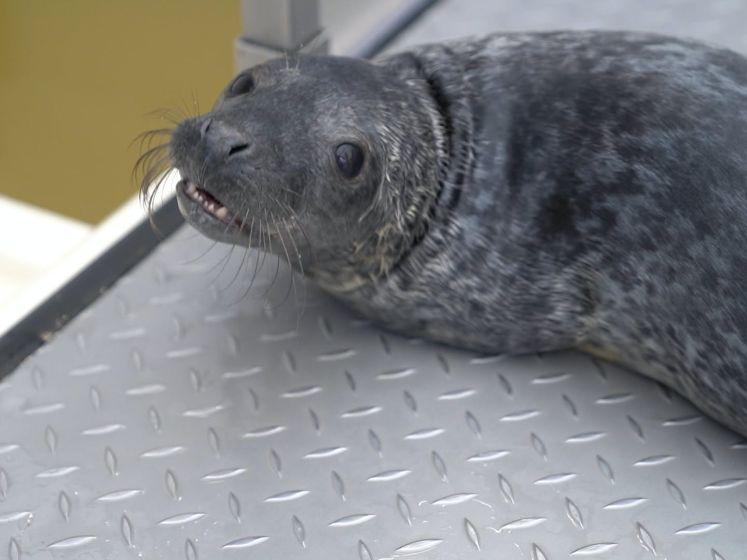 Zeehond Lil' Kleine schreeuwt hele opvang bij elkaar met zijn praatjes