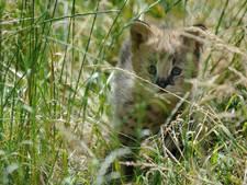 Snoezige serval direct attractie in Diergaarde Blijdorp