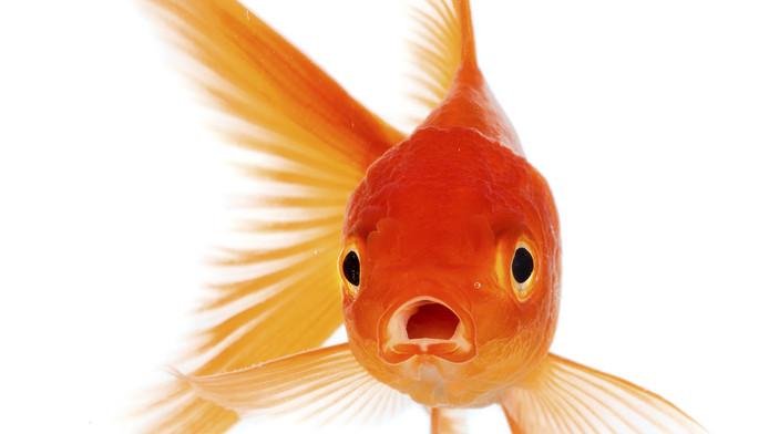 Afbeeldingsresultaat voor goudvis
