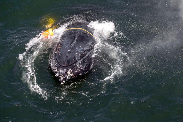 Een bultrugwalvis zit verstrikt in vislijnen, touwen, boeien en ankers in de Grote Oceaan voor de kust van Californië. Door krabvissers gedumpt visgerei bedreigt er de beschermde walvissoort.