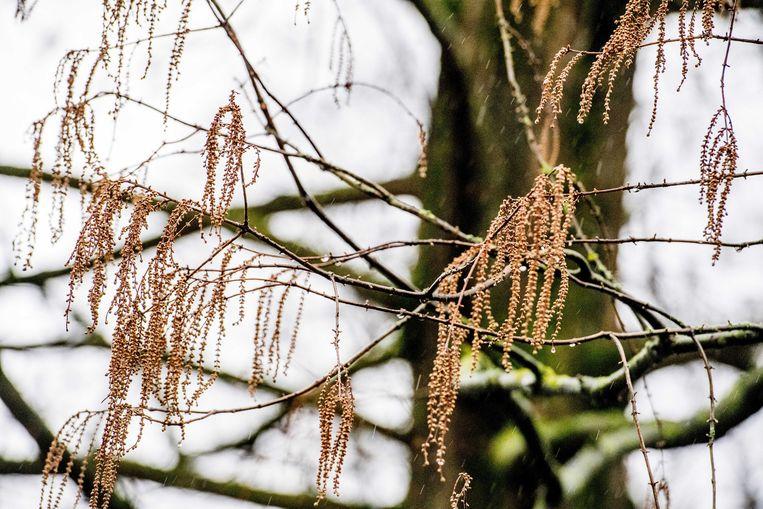 Een hazelaar in bloei. De natuur is in de war door de zachte winter.