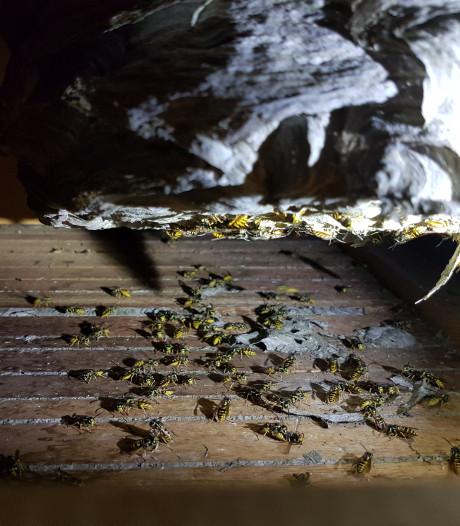 Ongediertebestrijder Rido uit Heeze heeft het 'dubbel zo druk' door alle wespennesten
