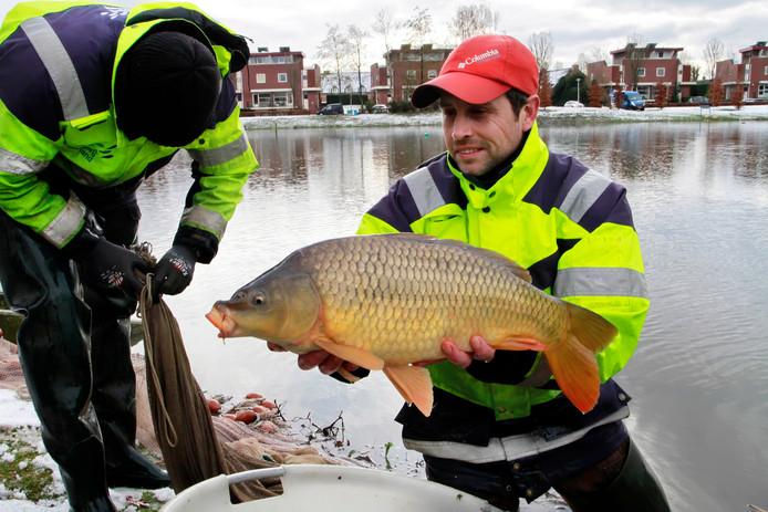 Medewerkers van Sportvisserij Nederland onderzoeken de visstand in heel Nederland, zoals hier in de stadsvijver van Etten-Leur, aan de Hoge Neer. Een volwassen schubkarper is middels stroom even buiten westen gebracht en wordt snel  gemeten en gewogen om meteen daarna weer te worden uitgezet.