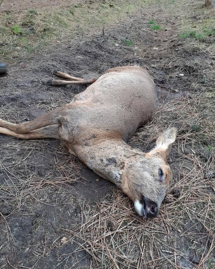 'Wéér een ree door een loslopende hond gepakt in het Leenderbos', meldt Boswachter Erik op Twitter.