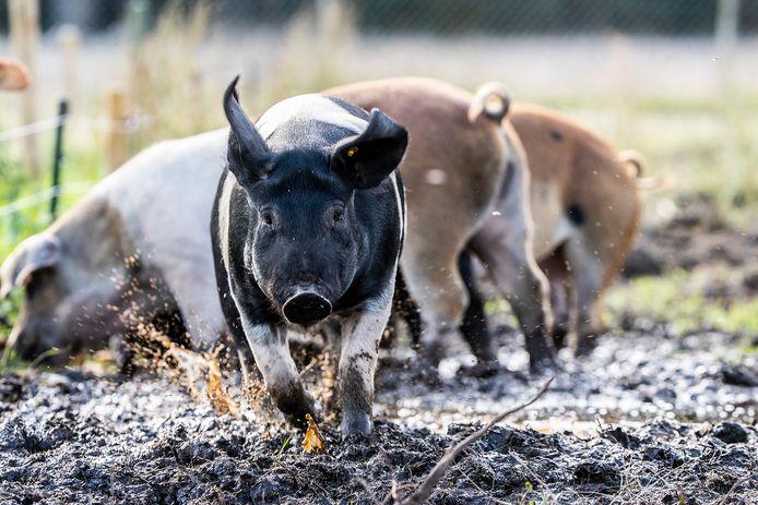 De varkens.