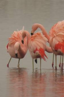 Zeven flamingo's strijken neer in Pijnacker: 'Hoe gaaf is dat?'
