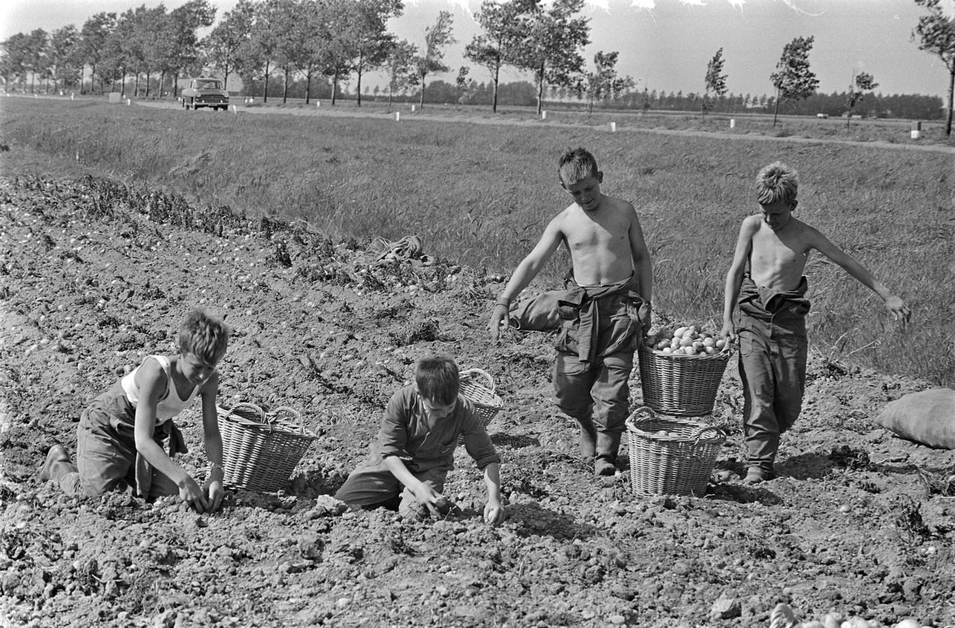 Jongens helpen bij het aardappelrooien in 1965.
