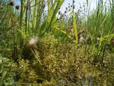 Australische waterplant blijkt sluipmoordenaar:  vissen verstikken in het Bentwoud