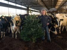 Veehouder Koonstra uit Vinkenbuurt zamelt weer kerstbomen voor koeien in