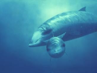 Mysterie ontrafeld: militaire sonar maakt walvissen suïcidaal