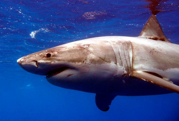 Een grote witte haai in de wateren bij Hawaï. Beeld ter illustratie.