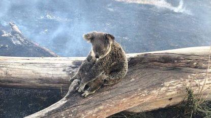 Pakkend beeld: mama koala beschermt haar baby tegen oprukkende bosbranden