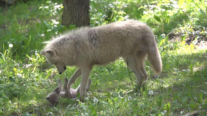 De wolvin speelt met een van haar jongen.
