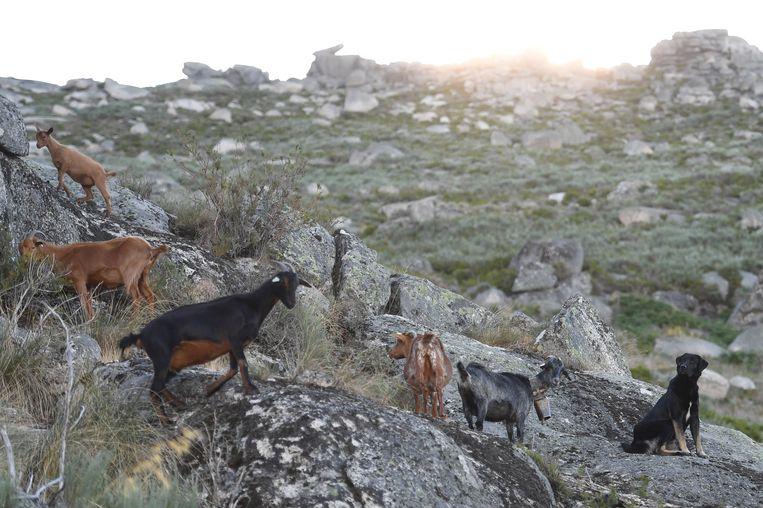 Geiten en een hond in het berggebied Serra da Estrela in midden-Portugal. Beeld Francisco Leong / AFP